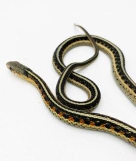 North American Garter Snake CB20