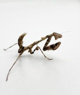 Asian Dead Leaf Mantis CB20