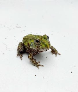 Giant African Bullfrog 3cm CB20