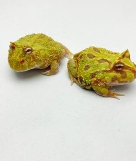 Albino Mutant Horned Frog CB20