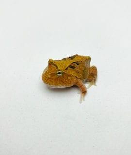 Brown Fantasy Horned Frog CB20