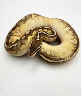 Male Pastel Champagne Mojave Royal Python CB19