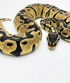 Female Pastel Royal Python CB19