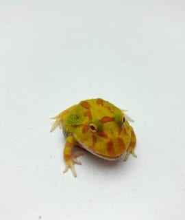 Sunkissed Lime Green Albino Horned Frog CB20