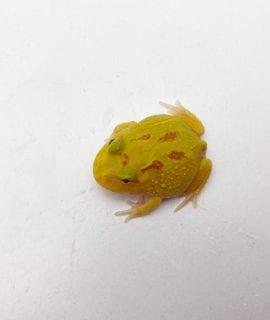 Albino 4 Spot Horned Frog CB20