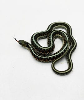Male Eastern Garter Snake CB20