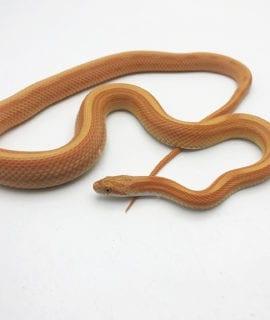 Male Amel Stripe Corn Snake CB19