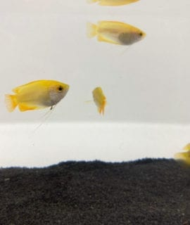 Golden Honey Gourami S