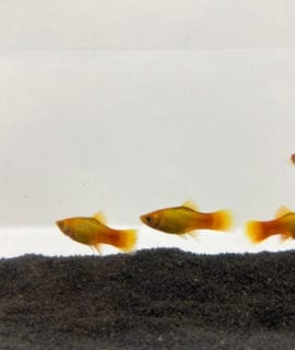 Glowlight Sunset Platy M