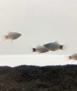 Blue Mickey Mouse Platy M