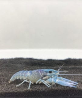 Blue Crayfish M