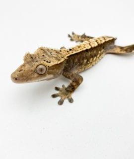 Female Chocolate Dalmatian Crested Gecko 18g CB19