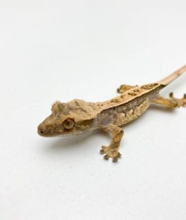 Quad Pinstripe Crested gecko CB20