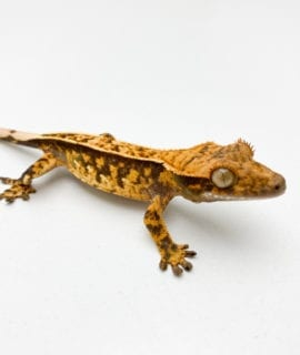 Extreme Harlequin Pinstripe Crested Gecko CB20