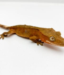 Male Bicolour (partial tail) Crested Gecko 11g CB19