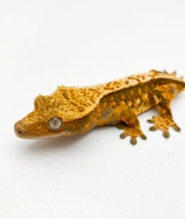 Female Extreme Harlequin Crested Gecko (dropped tail) 15g CB19