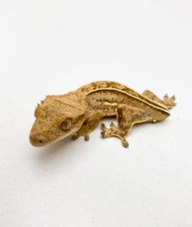 Pinstripe Crested Gecko (dropped tail) CB20