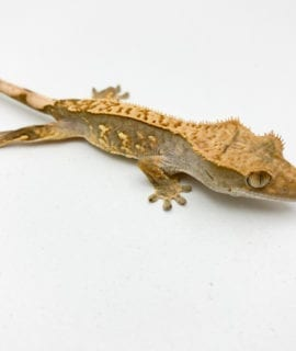Harlequin Partial Pinstripe Crested Gecko CB20