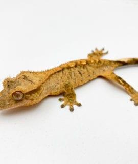 Male Brindle Dalmatian Crested Gecko CB19