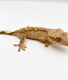 Brindle Dalmatian Crested Gecko (partial tail) CB19