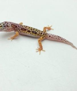 Snow Leopard Gecko CB20