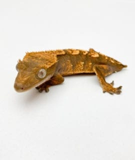 Flame Crested Gecko (dropped tail) CB20