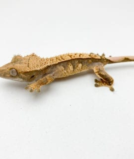 Cream Harlequin Partial Pinstripe Crested Gecko CB20