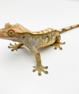 Female Tricolour Dalmatian Crested Gecko 25g CB18