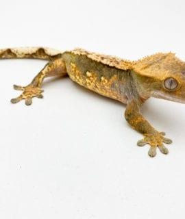 Female Tricolour Crested Gecko 26g CB18