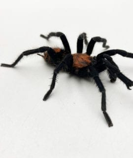 Male Costa Rican Tiger Rump Tarantula CB Adult