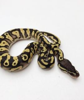 Male Pastel Yellowbelly Orange Dream het Pied Royal Python CB20