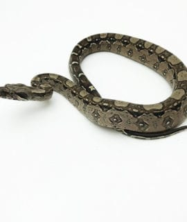 Common Boa CB20