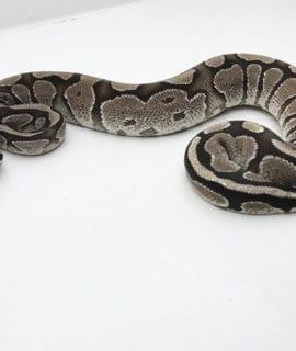 Male Axanthic Fire Royal Python 550g CB19