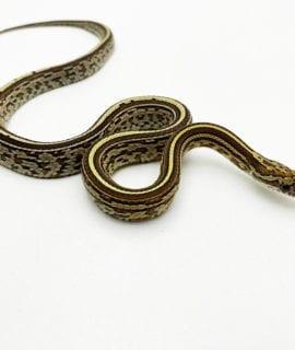 Caramel Tessera Corn Snake CB20