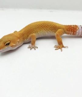 Super Hypo Tangerine Leopard Gecko CB20