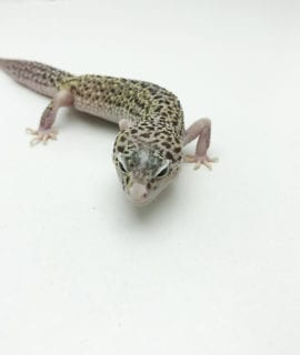 Female Snow Leopard Gecko CB Adult
