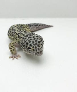 Male Snow Leopard Gecko CB Adult