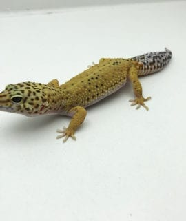 Female Hypo Leopard Gecko CB Adult