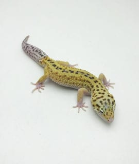 Male Stripe Leopard Gecko CB Adult
