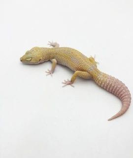 Female Albino Leopard Gecko CB Adult