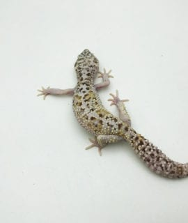 Female Snow Albino Leopard Gecko CB Adult