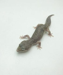 Female Eclipse Leopard Gecko CB20