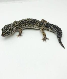 Female Classic Leopard Gecko CB Adult