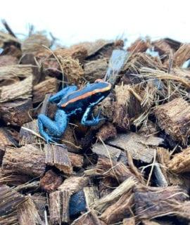 Golfodulcean Poison Arrow Frog D. vittatus CB