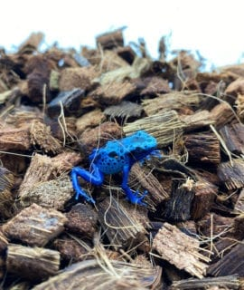 Blue Poison Arrow Frog D. azureus CB