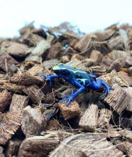 "Dying Poison Arrow Frog D. tinctorius ""robertus"" CB"