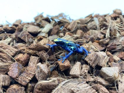 Our Poison Dart Frog Care Sheet