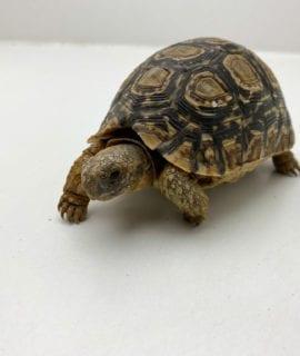 Female Leopard Tortoise CB17