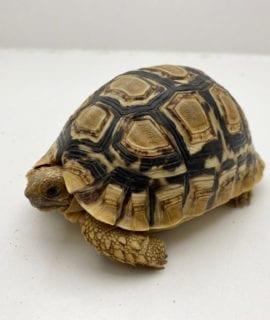 Male Leopard Tortoise CB17