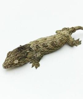 Moro Leachianus Gecko CB20
